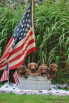 Sandspring #Chesapeake Puppy Shoot http://sandspringchesapeakes.com/2015/08/27/6-week-puppy-photo-shoot/