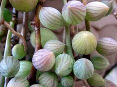 String of Tears / Beads Senecio Herreianus Hanging Succulent Plant