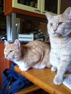 Osmo & Väinö  #cats #yellow #2011 #Osmo #Vaino