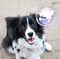 IT'S GLORIOUS!!! and then he luges back, jumps, and then eats the bubble :) #border #bordercollie