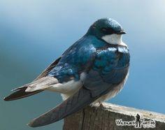 Male Tree Swallow 4