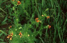 Lángszínű hérics (Adonis flammea, Ranunculaceae) (Turcsányi Gábor felvétele)