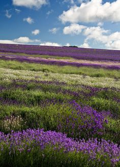 "caislean-oir-blog: "" Snowshill Lavender Farm (by flash of light) """