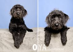 OYA | Labradoodle | DOGvision | www.DOGvision.be | dog photography