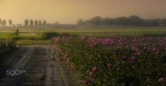 Peony fields at dusk, The Netherlands