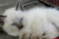Blue Eyes Get Me - http://cutecatshq.com/cats/blue-eyes-get-me/