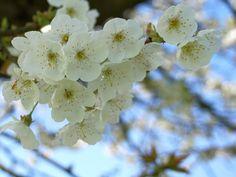 Trek erop uit om te genieten van de fruitbomen die volop in bloei staan. Ik wandelde de bloesemtocht rond Buren, maar er zijn nog veel meer bloesemtochten.
