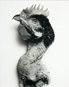 Rooster photographed by Irving Penn