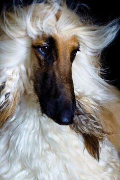 Afghan Hound. we had an Afghan when I was little, he was a superb dog :)