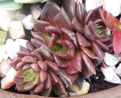 q does anyone know the name of these echeverias, gardening, 2