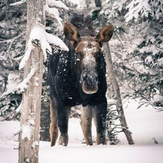 Say hello to a snowy moose spotted on the Skyline Trail in Cape Breton, Nova Scotia. Cap Breton, Winter Cabin, Snow Cabin, Cabot Trail, Sea To Shining Sea, O Canada, Arctic Circle, New Brunswick, Fishing Villages