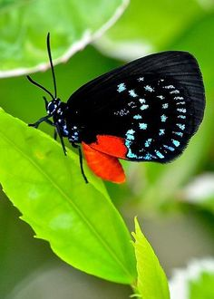 Atala Butterfly by Keith Spencer