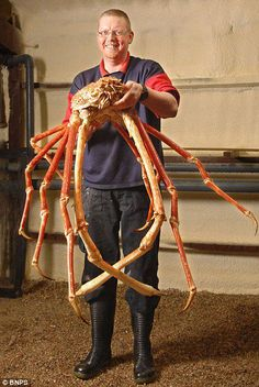 "Weird sea creatures: The Japanese Spider Crab. ""(Macrocheira kaempferi), is a very leggy deep-sea arthropod, and it's the largest known arthropod. The Japanese spider crab shown—nicknamed Crabzilla. nope that is a nope crab it is called the nope crab Large Animals, Cute Animals, Giant Animals, Baby Animals, Big Crab, Fauna Marina, Carapace, Underwater Life, Underwater Animals"