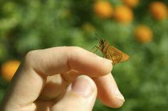 Skipper butterfly resting on finger Knoll Landscape Design
