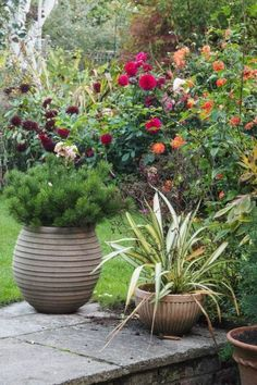 Easy-care evergreen pots to add interest and structure to your garden all year round. plant choices for evergreen trees, shrubs and grasses for pots. Evergreen Container, Evergreen Garden, Container Plants, Container Gardening, Free Plants, Cool Plants, Clematis, Grasses For Pots, Gardens