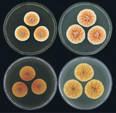 Penseelschimmel Penicillium vanoranje  Een pas ontdekte schimmelsoort is - om zijn oranje kleur - vernoemd naar het koningshuis.