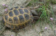 If you have a tortoise and you& working on an outdoor enclosure or you& just trying to vary the diet as much as you can, you& definitely want to consider going outside of the grocery store for greens, flowers, and plants. Tortoise House, Tortoise Food, Tortoise Habitat, Turtle Habitat, Sulcata Tortoise, Tortoise Turtle, Baby Tortoise, Outdoor Tortoise Enclosure, Hermann Tortoise