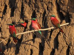 """""""Carmine Quartet"""" by Elizabeth Wallen: We were fortunate to find a large breeding colony of carmine bee eaters along the banks of the Zambezi River in Zimbabwe. We saw them swarming first early in the day from our jeep on a game drive. We were lucky enough to see them again later in the day from a canoe along the river, and were able to get quite close. Our canoe drifted right into the middle of the colony."""