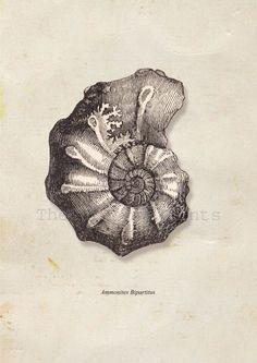 Sea Shell  Print Ammonites bipartitus Fossil. $22.00, via Etsy.