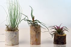 group of three air plants in natural branch by Pink Serissa