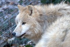 Beautiful Arctic Wolve Download Image Pictures « Pin HD Wallpapers