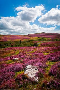 : Fields of Heather, Yorkshire Dales, Yorkshire, England by Fragga on Flickr