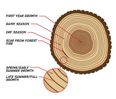 How to read tree rings. The color and width of tree rings can provide snapshots of past climate conditions. By Nasa. Tree Study, Tree Identification, Circle Tattoos, Plant Science, Life Science, Science Jokes, Science Ideas, Science Education, Wood Carving Tools