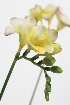 Perfect white with a touch of yellow - fragance flower freesia or fresia. What's in a name. Sweet fragrance