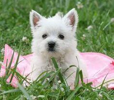 Love my Westies Pink Garden, West Highland Terrier, West Highland White, Style Retro, Pink Tulips, White Terrier, White Dogs, Westies, Diamond Are A Girls Best Friend