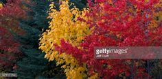 Stock Photo : Detail of autumn colors in red and striped maples. Acer rubrum…