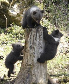 Three young bear cubs climbing on a stump.