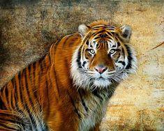 Wildlife art. Tiger art.