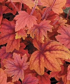 """Heucherella 'Sweet Tea' is a perennial that grows in part to full shade. It grows 20"""" tall and blooms in early spring. Zones 4-9"""