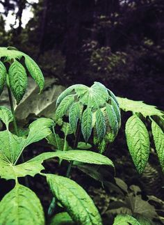 brassaiopsis, jardin jungle karlostachys, eu, normandie