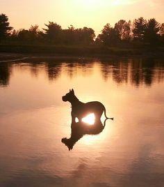 #Great #Dane sunset