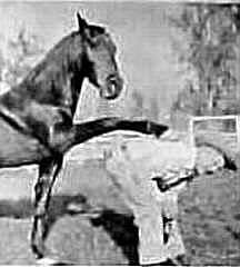 """FURY~Am. Sdlbred; owned & trained by Ralph McCutcheon (owned/DICE, paint horse, DUEL IN THE SUN) one of the most intelligent of all the movie/tv horses.At 26 mths he played BLACK BEAUTY, He was Also """"War Winds"""" in the movie """"GIANT"""" ....He won movie awards, and was a Television Favorite as FURY.  But Please Remember Him as """"War Winds"""" in Giant, Rock Hudson paid big bucks for him & he was  Liz Taylors Horse, & he's shown in all his Glory in that Movie. FURY though 1 of my faves, was a bit CHEE..."""