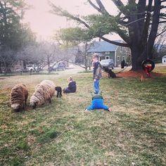 Socializing #sheep on another #unseasonablywarm day. #babysheep #merino #shetland #farmlife #Farm #farmkids #springtime