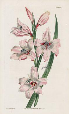 Painted Corn-Flag Gladiolus from 1815 Curtis Botanical Magazine Red, Orange Highly Decorative Prints