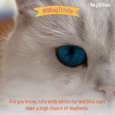 White fur and blue eyes are a result of melanin deficiency. In fact, this… Cell Line, Inner Ear, Cat Health, White Fur, Trivia, Blue Eyes, Cat Lovers, Bond, Period