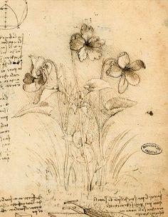 Leonardo Da Vinci - Study of Violets. I admire Leonardo so much. Illustration Botanique, Art Et Illustration, Illustrations, Leonardo Da Vinci Zeichnungen, Artist Journal, Journal Art, Famous Artists, Botanical Prints, Botanical Tattoo