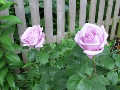 Blue Moon roses (similar to Sterling Silver), 14 May 2012