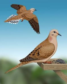 Mourning Dove  ... constant visitors on the ground at the base of the birdfeeder ... have seen up to eight at one time