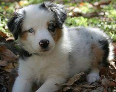 Annabel, an Australian Shepherd.  What a sweet little girl and I love her name.