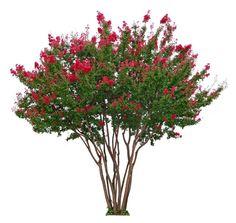 Pruning ~ Crepe myrtles