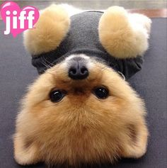 cute images of jiff pom Cute Little Animals, Cute Funny Animals, Cute Cats, Funny Dogs, World Cutest Dog, Cutest Puppy Ever, Cute Animal Pictures, Dog Pictures, Cute Puppies
