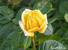 Gina lollabridgeda rose | Gina Lollobrigida Rose. Bagatelle, Paris
