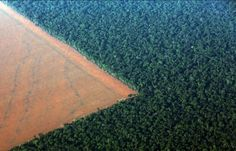 In the Brazilian region of the Amazon, around 80 percent of deforestation is caused by cattle ranching and this rate increased by 29 percent in the past year alone.