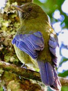 Grey-winged Cotinga, Tijuca condita: Rio de Janeiro State. Brazilian Birds
