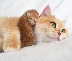 Ginger cat with its newly born kitten
