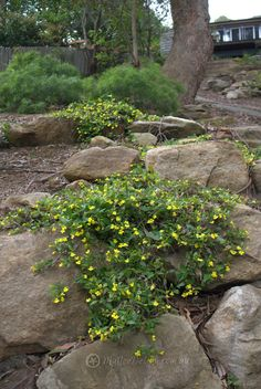 Happy little rambler: Goodenia ovata 'Goldcover' - Mallee Design